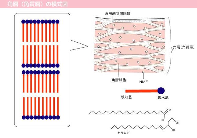 角層細胞間脂質