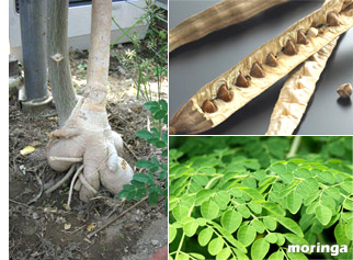 モリンガの実・種(油)・茎・花・根