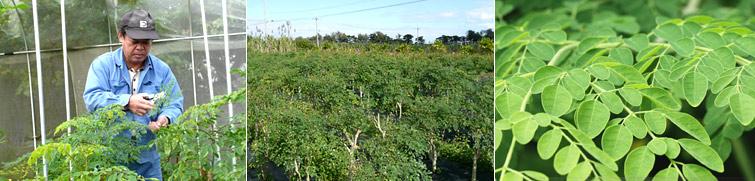 モリンガの国内栽培についての画像