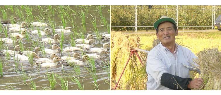 金井農園のお米&カルガモが除草に大活躍